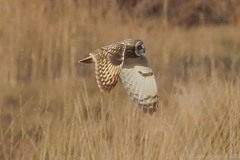 Short-eared Owl (Asio flammeus), Thorne Moor.