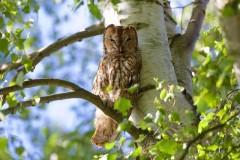 Tawny Owl ( Strix aluco,), Woodside Nurseries, Austerfield.