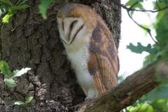 Barn Owl (Tyto alba), Austerfield.