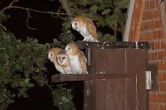 Barn Owl (Tyto alba), Woodside Nurseries, Austerfield.