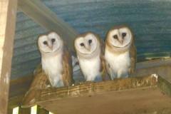 Barn Owls (Tyto alba), (fledgelings,), Austerfield.