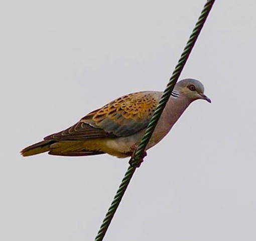 Turtle Dove (Streptopelia turtur), Woodside Nurseries, Austerfield.