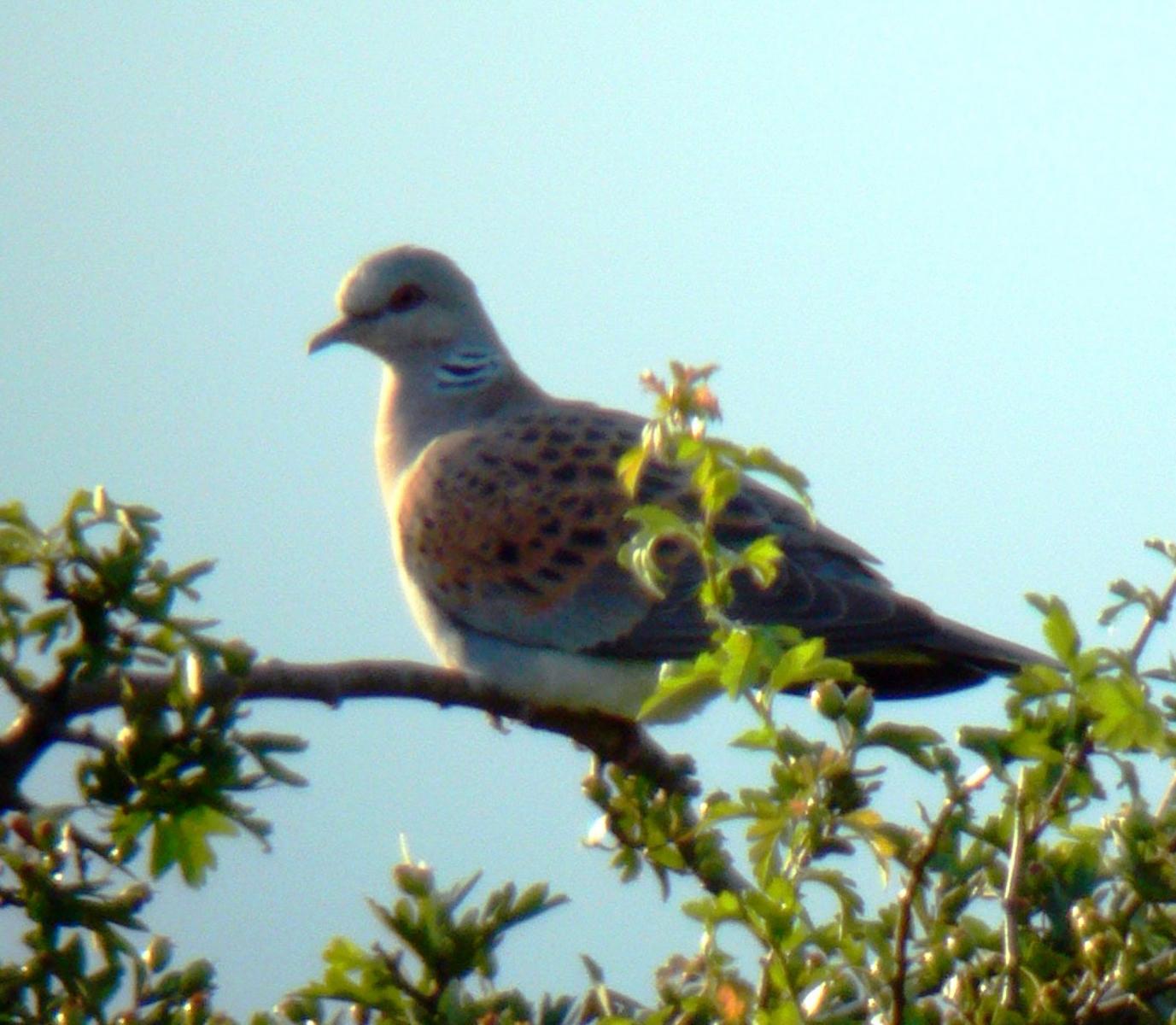 Turtle Dove (Streptopelia turtur), North Anston.