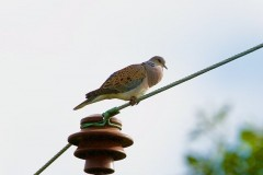 Turtle Dove (Streptopelia turtur), calling male, Woodside Nurseries, Austerfield.