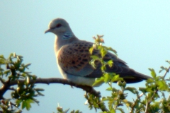 Turtle Dove (Streptopelia turtur), North Anston.