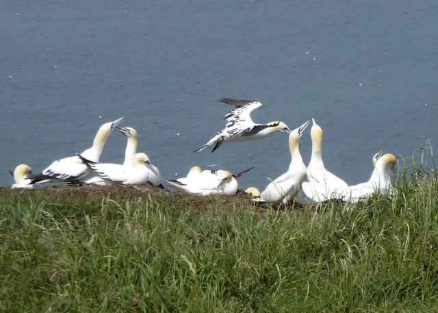 Gannets (Morus bassanus), Bempton Cliffs.