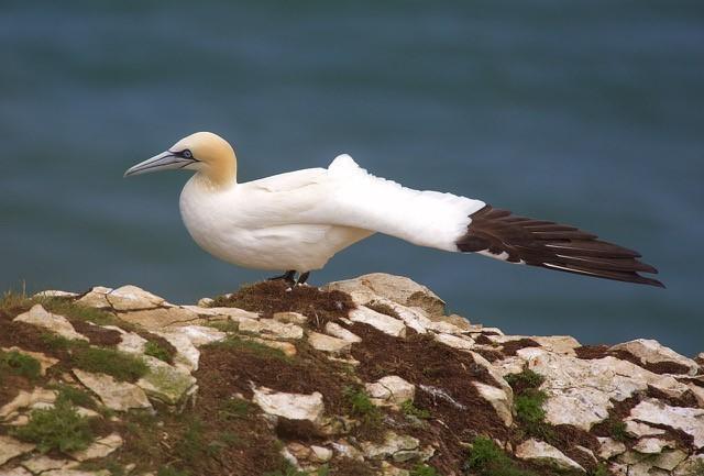 Gannet (Morus bassanus), RSPB Bempton Cliffs