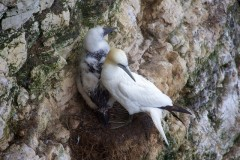 Gannet (Morus bassanus), with youngster, RSPB Bempton Cliffs