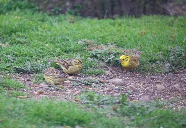 Yellowhammer (Emberiza citrinella), Woodside Nurseries, Austerfield.