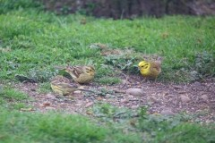 Yellowhammer (Emberiza citrinella), Woodside Nurseries, Austerfield.