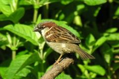 House Sparrow (Passer domesticus), Dinnington