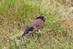 Bullfinch (Pyrrhula Pyrrhula), female, Woodside Nurseries, Austerfield.