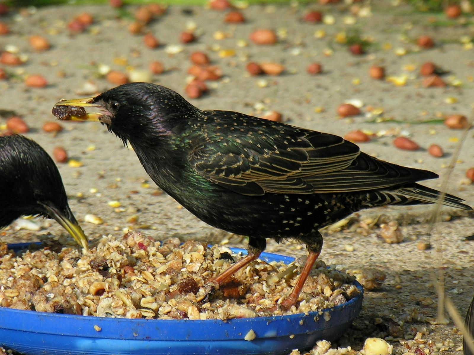 Starling  (Sturnus vulgaris), Dinnington.