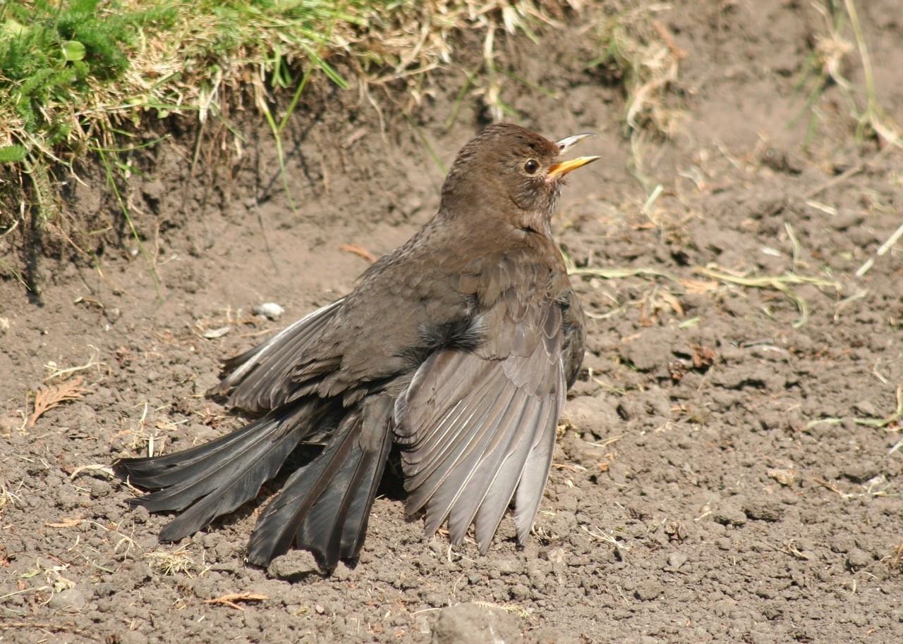 Blackbird -  Turdus merula, Intake, Doncaster