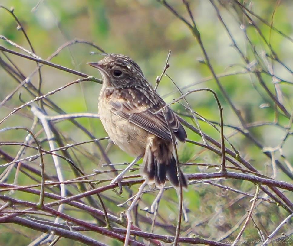 Stonechat juvenile (Saxicola rubicola), Thorne Moor.