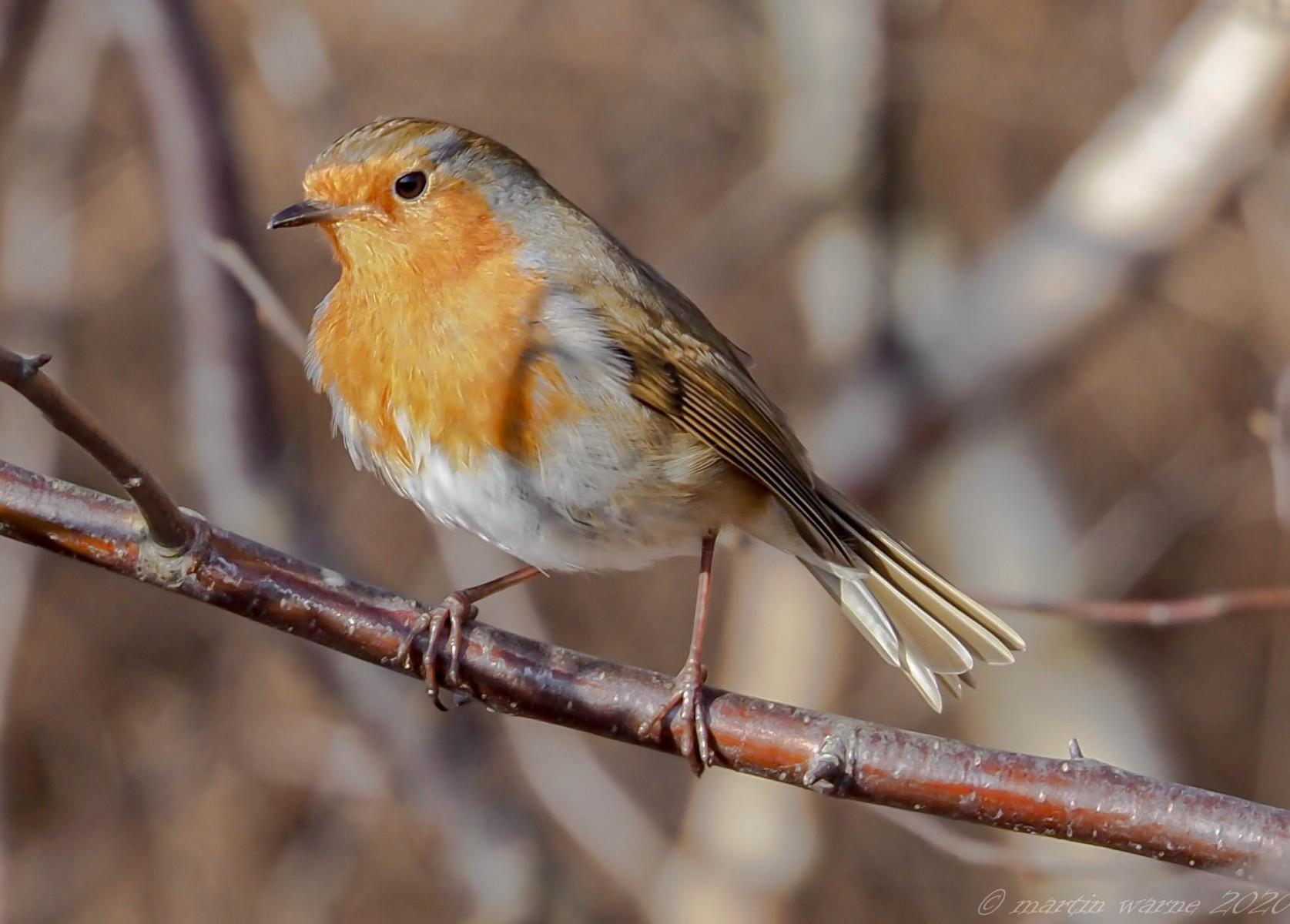 Robin (Erithacus rubecula), Thorne Moor.