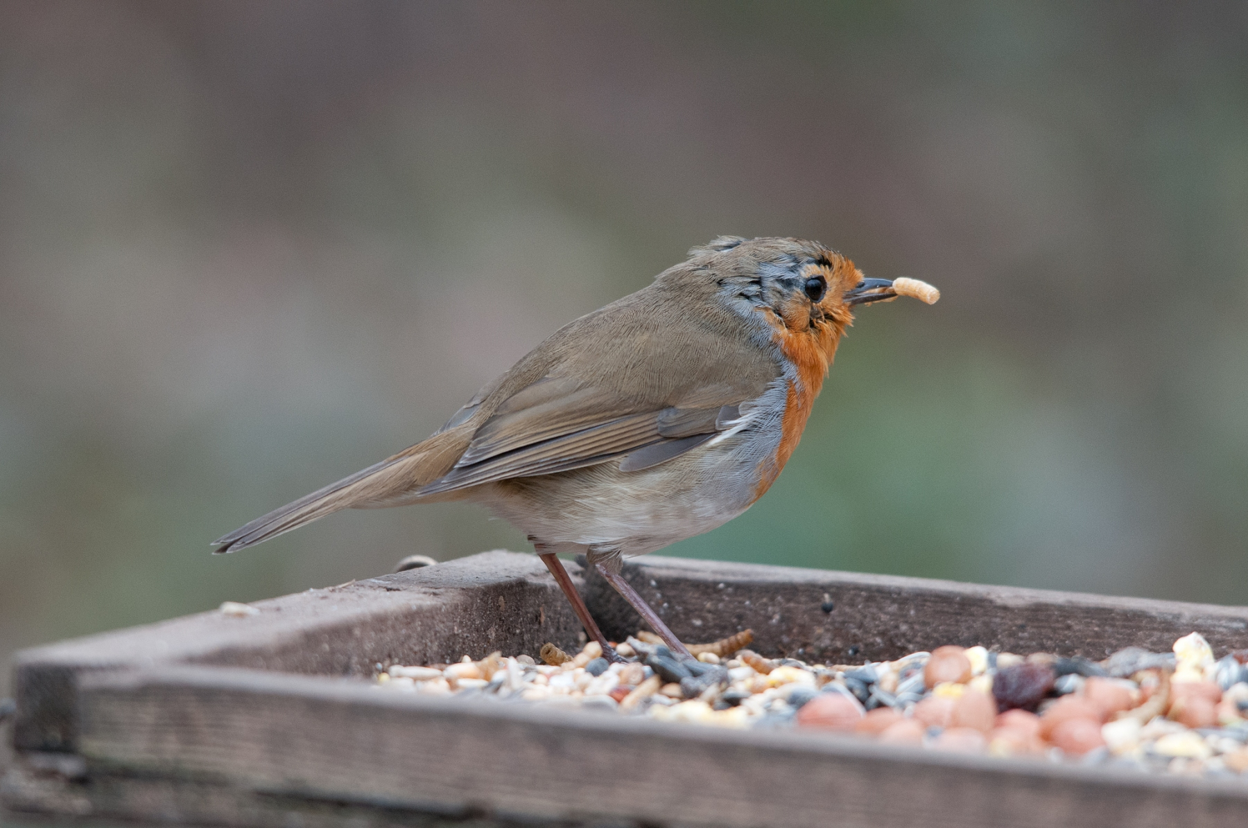 Robin (Erithacus rubecula), Clumber Park.