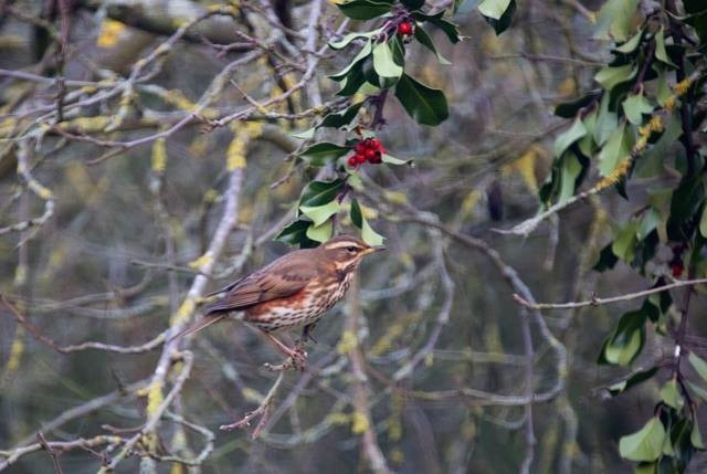 Redwing (Turdus iliacus), Woodside Nurseries, Austerfield.