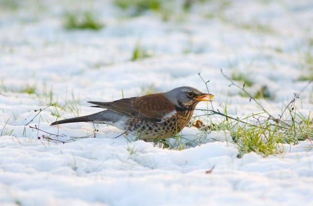 Fieldfare (Turdus pilaris), Woodside Nurseries, Austerfield.