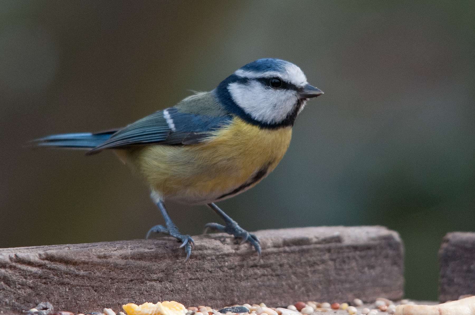 Blue Tit (Parus caeruleus), Clumber Park.