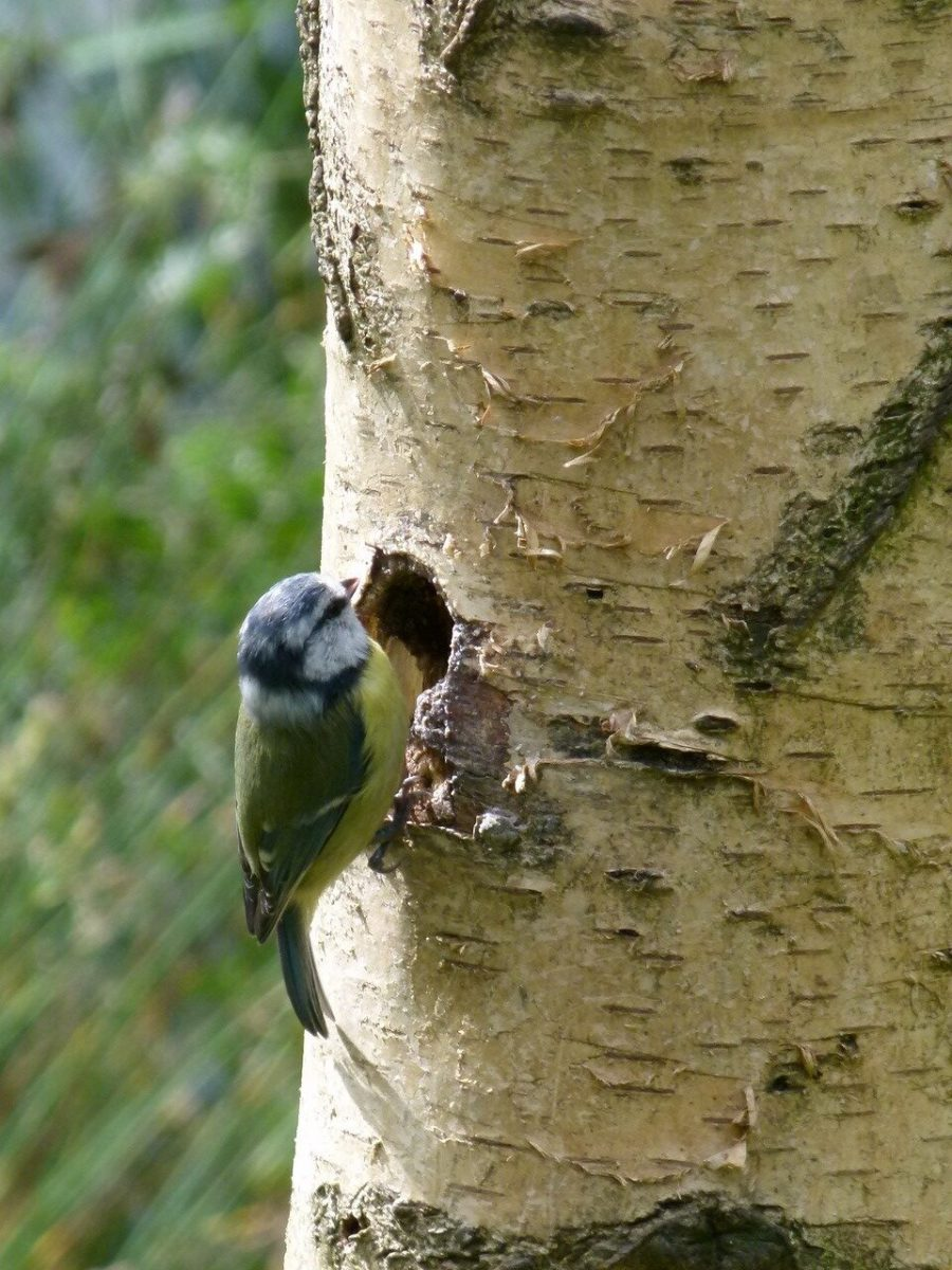 Blue Tit - Parus caeruleus, Potteric Carr.