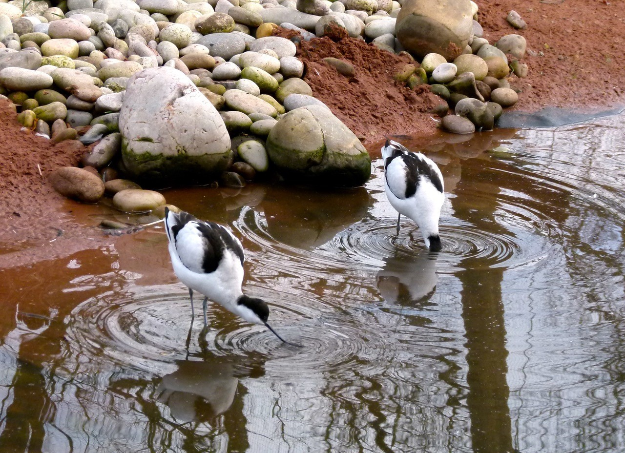 Avocet (Recurvirostra avosetta),