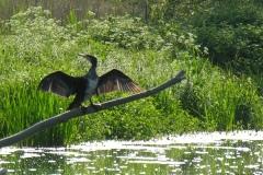 Cormorant (Phalacrocorax carbo), Clumber Park.