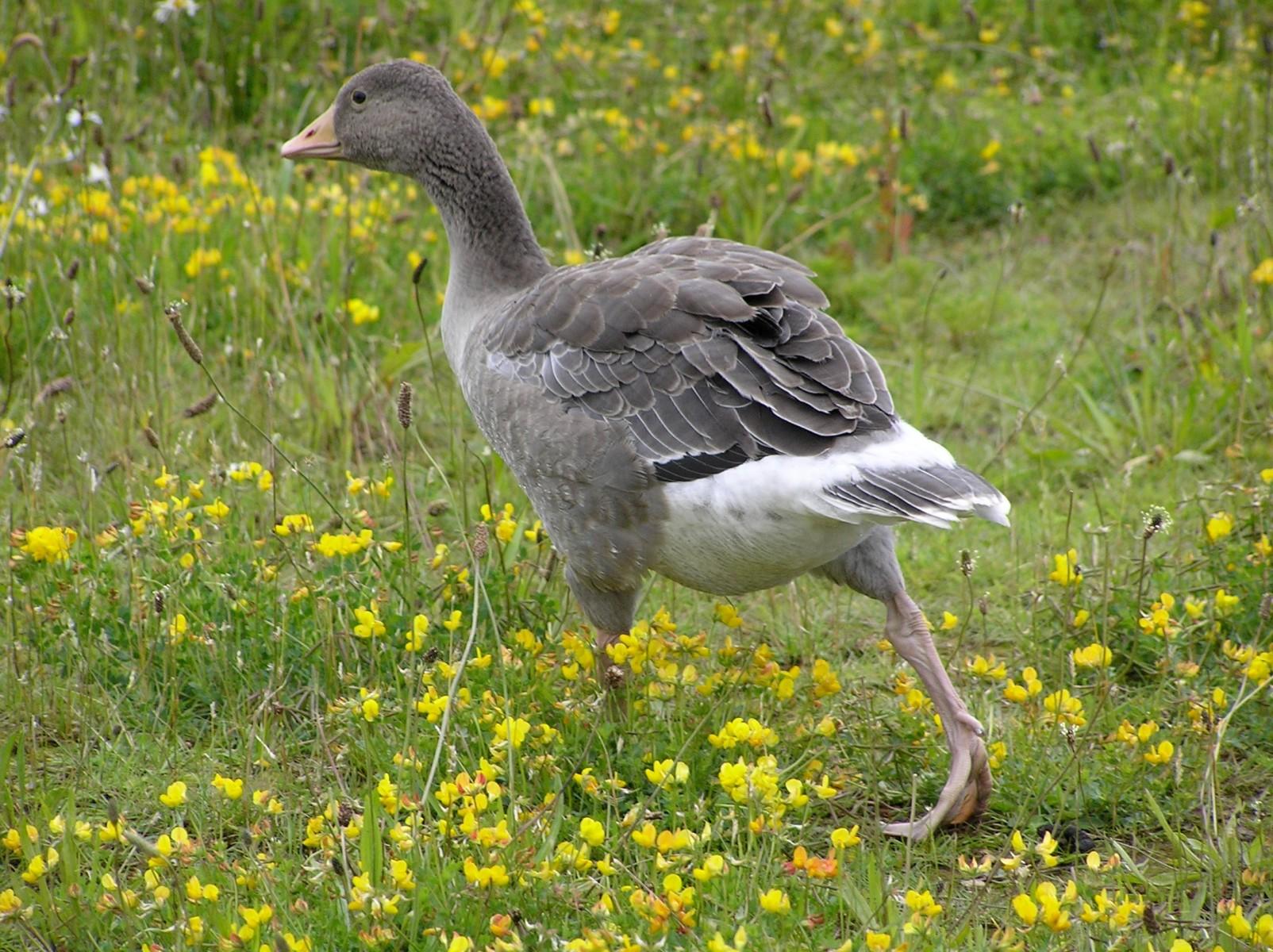 Greylag (Anser anser), Far Ings, Humberside.