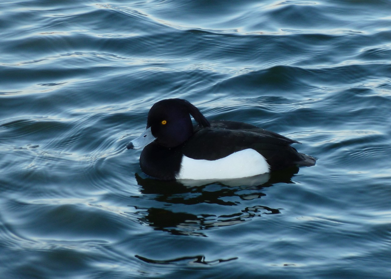 Tufted Duck (Aytha fuligula _, male, Lakeside, Doncaster.