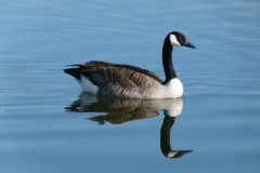 Canada Goose (Branta canadensis) Lakeside, Doncaster.
