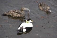Eider Duck (Sametaria mollissima), North Berwick.