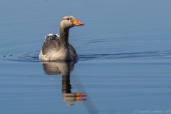 Greylag Goose (Anser anser), Thorne Moor.