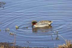 Teal (Anas crecca), male, Lakeside, Doncaster.