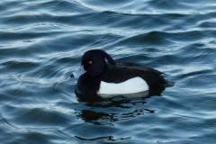 Tufted Duck (Aytha fuligula _, male, Lakeside, Doncaster.