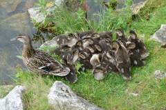 Mallard ducklings (Anas platyrhynchos), Lakeside Doncaster.
