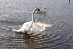 Mute Swan (Cygnus olorat), Lakeside, Doncaster.