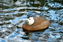 Ruddy Duck (Oxyura jamaicensis), Leighton Moss RSPB.