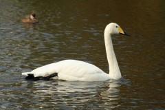 Whooper Swan (Cygnus cygnus), Leighton Moss RSPB.