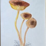 No. 21 Tricholomopsis rutilans 'Plums and Custard' Clumber Park