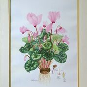 No. 12 Sowbread sp. (Cyclamen sp.)