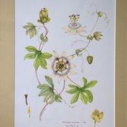 No. 14 Passion Flower Passiflora sp. 1991