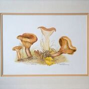 No. 19 Paxillus involutus Potteric Carr Oct 1996