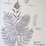 No. 9 Royal Fern (Osmunda regalis)