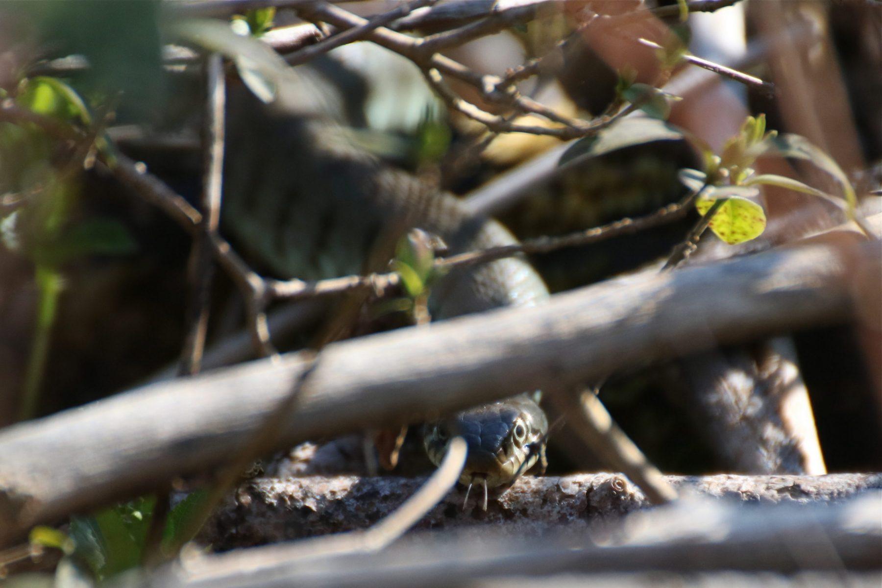 Grass snake - female