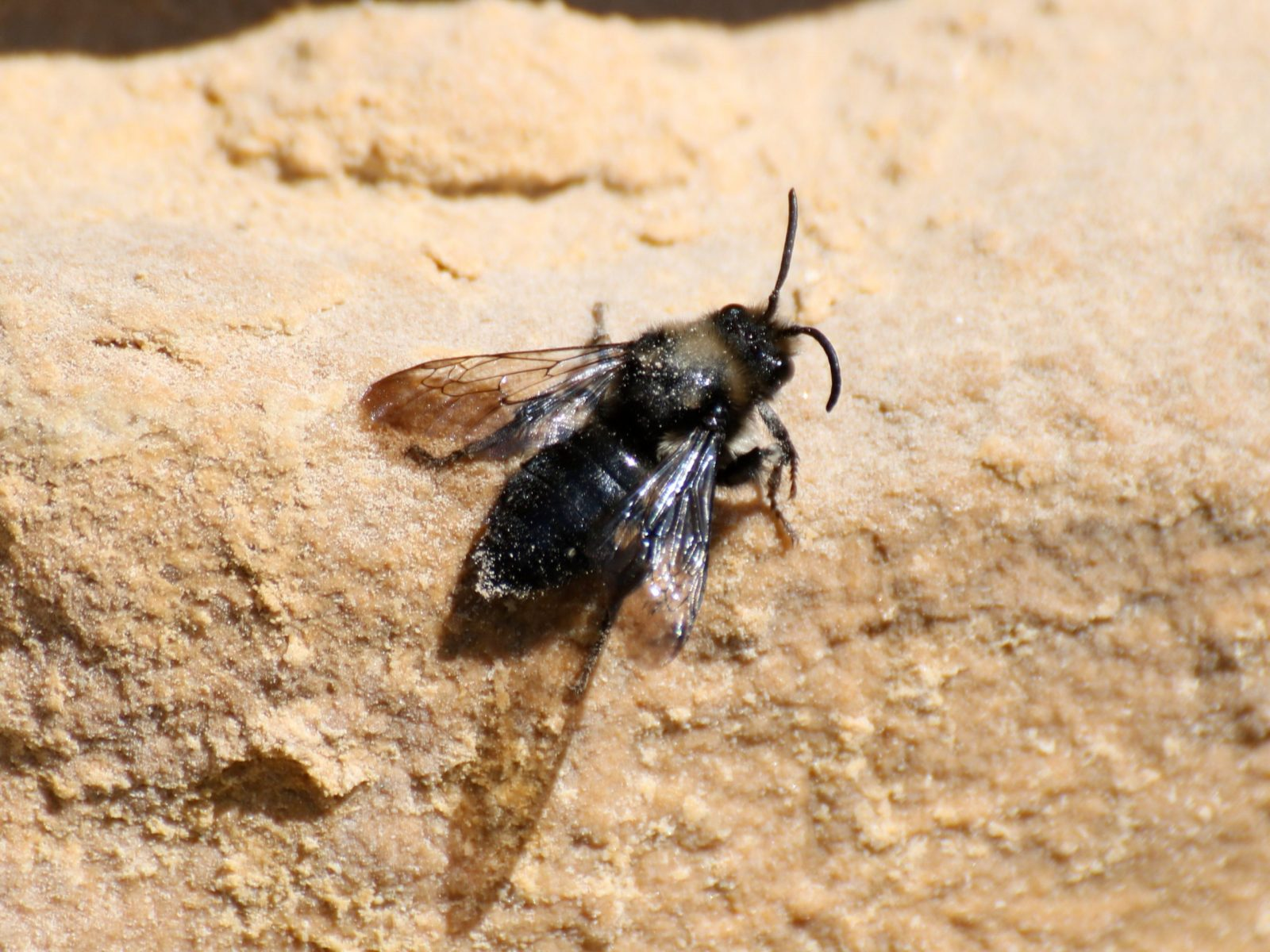 Common Mourning Bee
