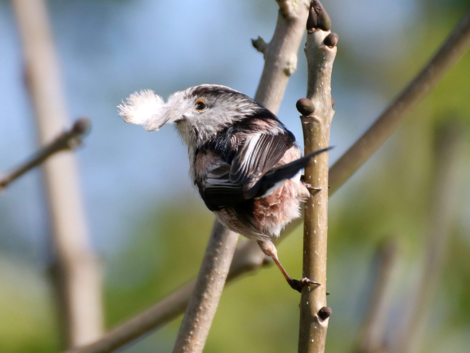 Long-tailed-Tit-scaled