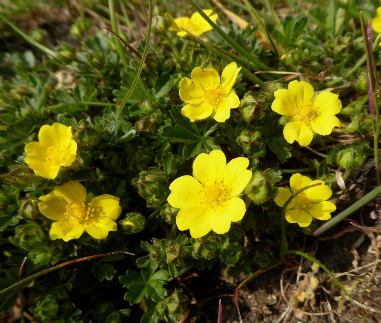 Spring-Cinquefoil-scaled