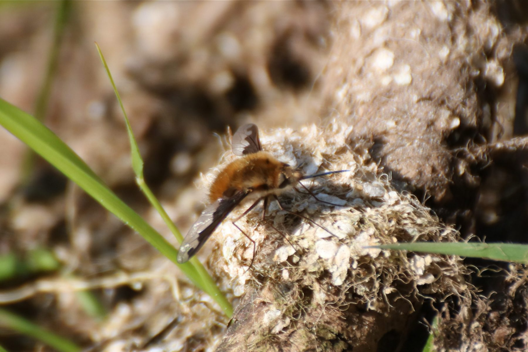 Dark-edged Bee-fly - Bombylius major