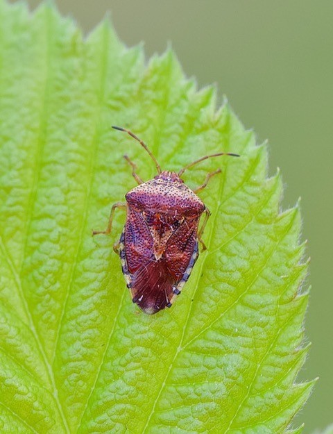 Elasmucha grisea - Parent Bug, Woodside Nurseries, Austerfield.