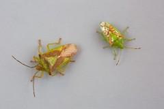 Canthosoma haemorrhoidale - Hawthorn Shieldbug and Cyphostethus tristriatus - Juniper Shieldbug comparison shot.